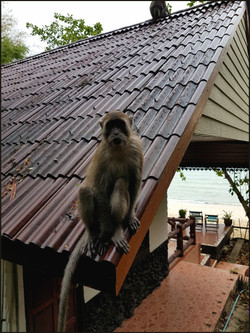 Long-tailed macaque, Macaca fascicularis
