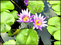 Pink water-lily, Nymphaea pubescens