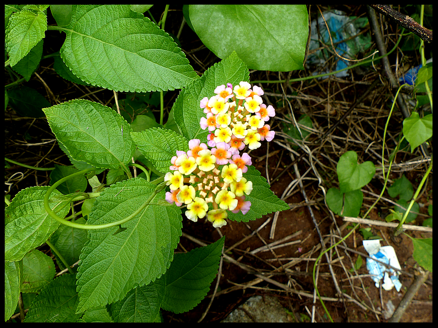 Lantana trifolia