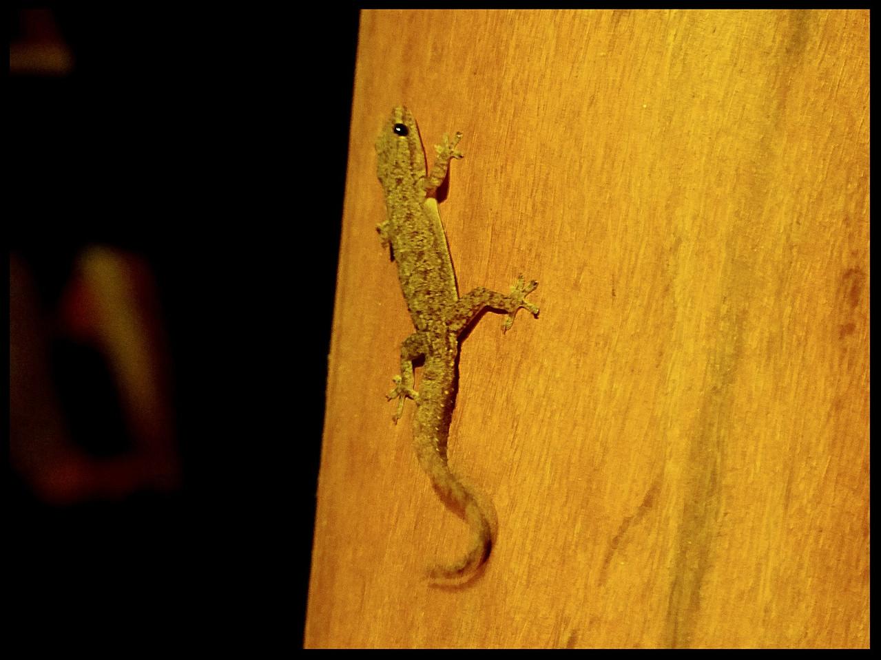 Hemidactylus parvimaculatus