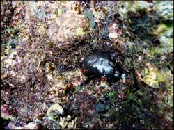 Crab, Eriphia sebana