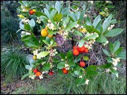 Strawberry-tree, Arbutus canariensis