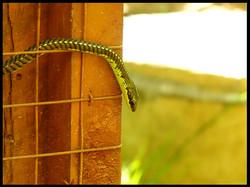 Colubrid snake