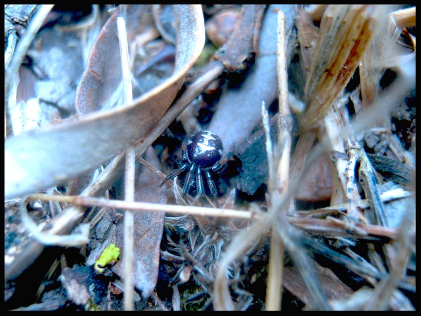 Steatoda sp., (False Black Widow)