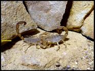 Androctonus aff. amoreuxi, (Clade 2)