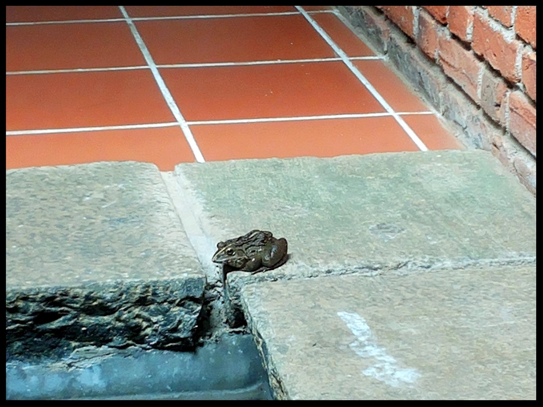 Ceylon Frog