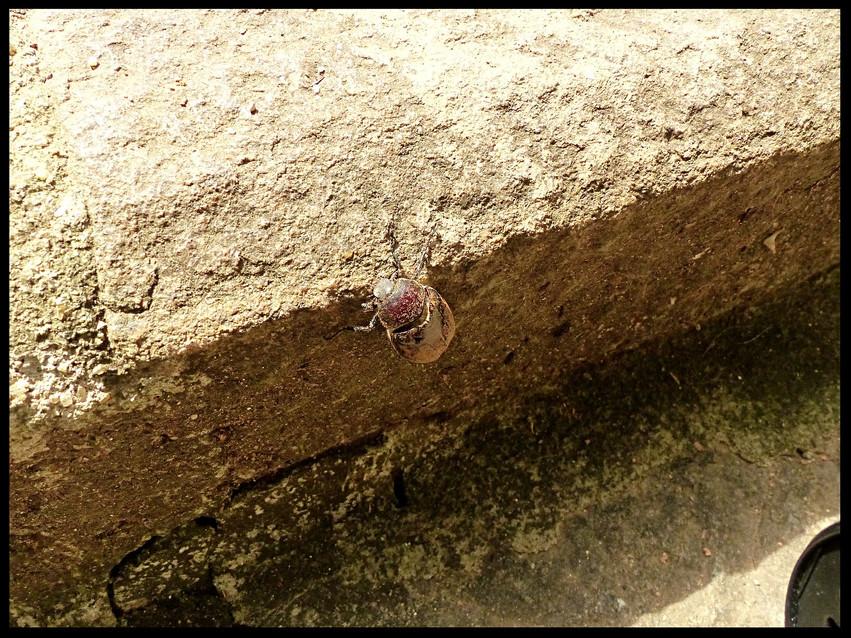 Scarabaeidae sp.