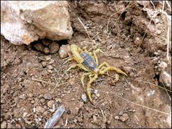 Scorpion | Buthus sp.