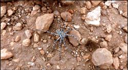 Huntsman spider | Eusparassus sp.