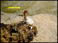 Compsobuthus cf. schmiedeknechti