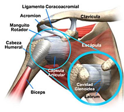 ortopedia anatomia del hombro para que pacientes entiendan problemas de hombro