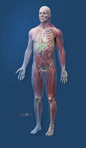 Animacion de areas del cuerpo hombro, codo, brazo, rodillas y caderas, tiene links a información importante para el paciente