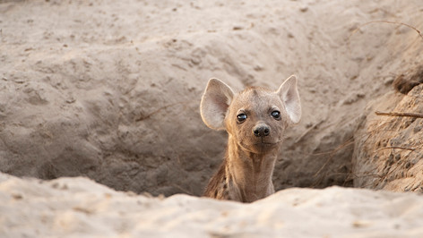 Hyena den.