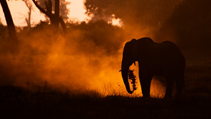 Elephant in the dust.