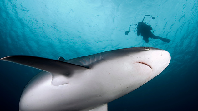 SilverTip Shark and a diver