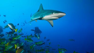 Juvenile galapagos shark.