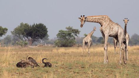 Giraffes of the Kalahari Desert.