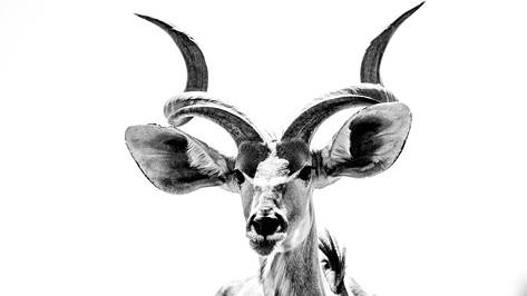 Kudu of the Kalahari Desert.