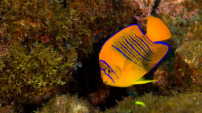 Clarion angel fish.