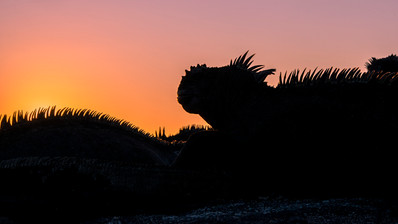 Iguana sunset