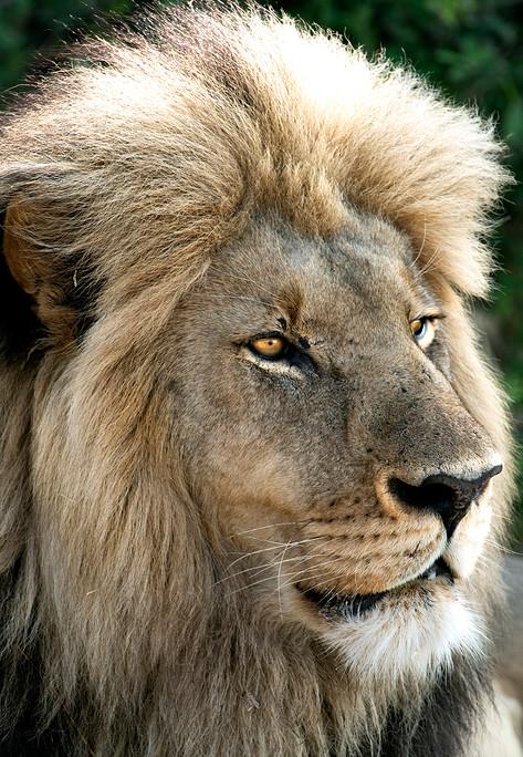 Lion profile.