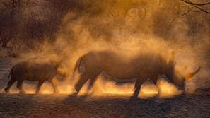 Rhino horn in the dust.