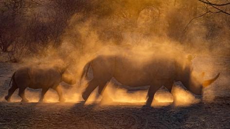 Rhino horn in the dust.