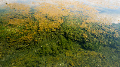 Endemic algaes