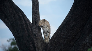Leopard on a tree.