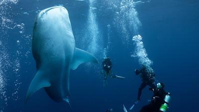 Vertical Swimming WhaleShark