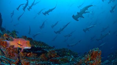 Hogfish and Hammerhead sharks