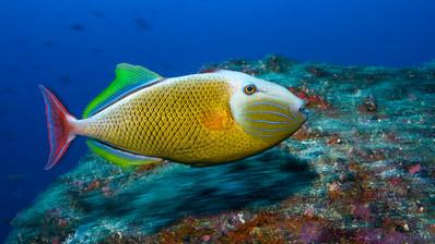 RedTail TriggerFish