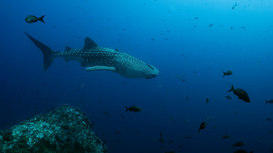 Whale Shark Swimming by rock formation