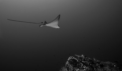 Black and White Eagle ray