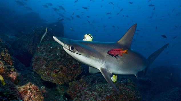 Scalloped HammerHead Shark Cleaning
