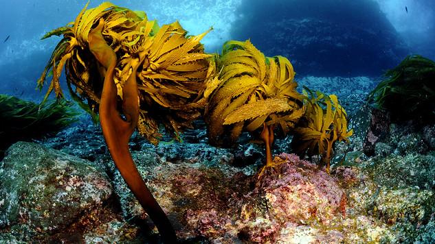Kelps against sea urchins