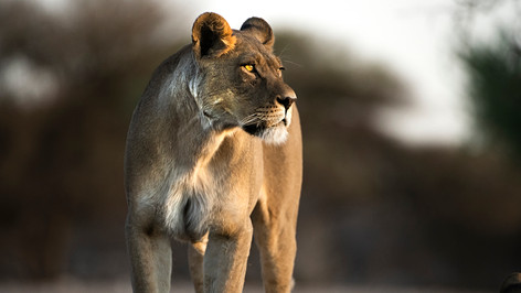 Lioness gazes into the sunset.
