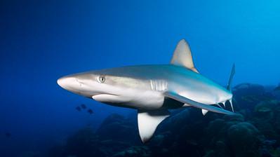 Juvenile Galapagos shark