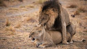 Mating liones