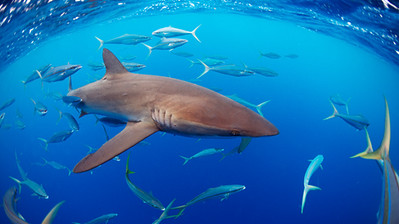 Silky shark in the open