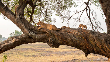Lioness and cubs on a tree.