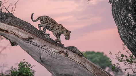 Leopard at sunset.