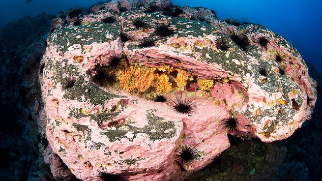 Calcareous algas