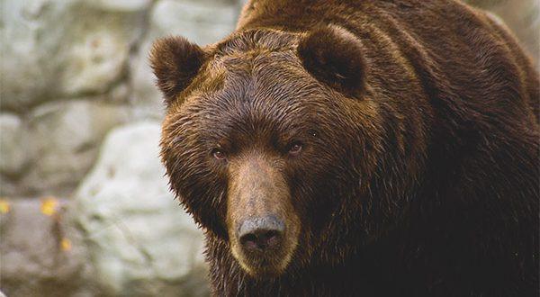 Urso da Ilha Kodiak no Alasca