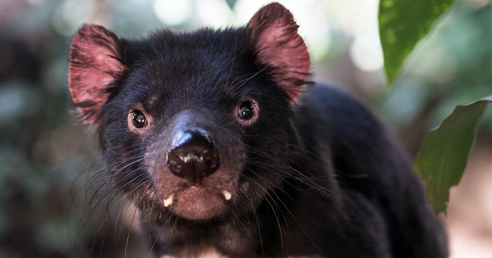 Sobre o Diabo da tasmânia