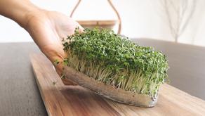 집에서 간단하게 키울 수 있는 최고의 항암제 | 맛있는 브로콜리 새싹롤 | 브로콜리 새싹 흙없이 키우는 방법 |