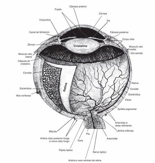 anatomia-olho.png