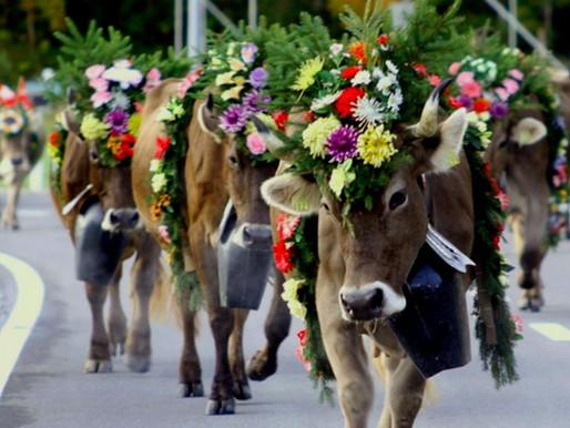 Alpabfahrt: The Swiss Cattle Descent