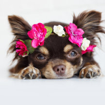 THE WORLD'S FIRST FESTIVAL FOR CHIHUAHUAS