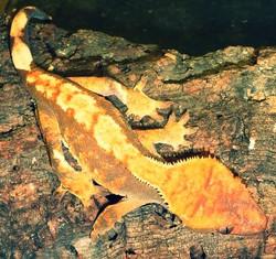 Crested gecko vet Cardiff